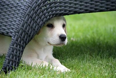 物陰に隠れるラブラドールの子犬