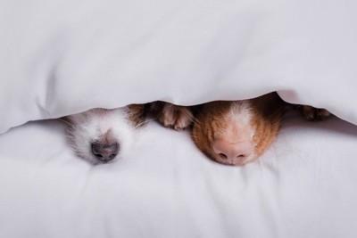 布団から出ている2頭の犬の鼻