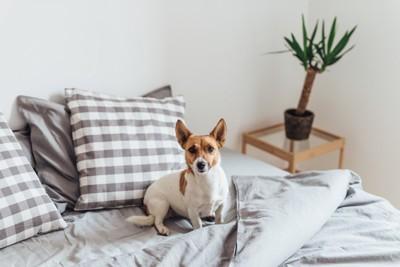 ベッドの上に座ってこちらを見ている犬