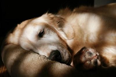 眠っているゴールデンリトリバー