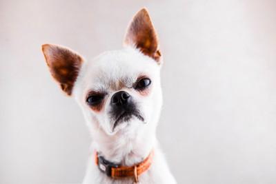 ムスッとした表情の犬