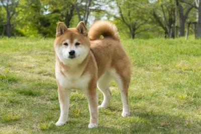 芝生の上に立つ柴犬