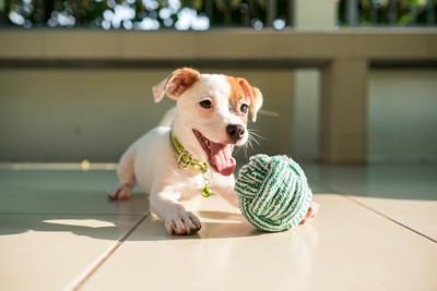毛糸玉で遊ぶジャックラッセルテリアの子犬