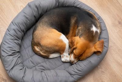 丸まって寝るビーグル