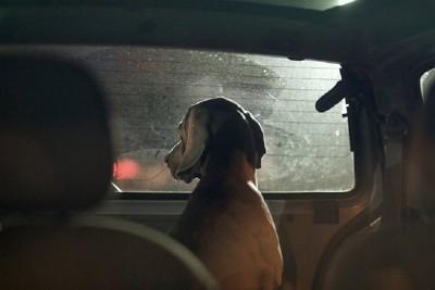 車の窓から外を見ている犬
