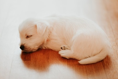 フローリングの上で丸くなって寝る犬