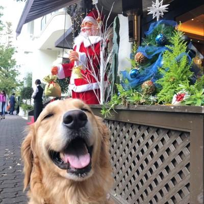 クリスマスを楽しみにするゴールデンレトリーバー