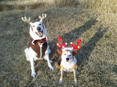 ホワイトスイスシェパードとミックスクリスマス仮装