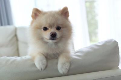 白いソファーの上のポメラニアン