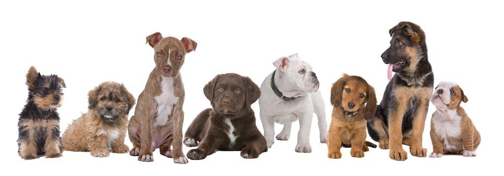 いろいろな犬種の子犬が並んでいる