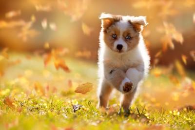 落葉の中を走る子犬