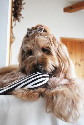 新しいブラシをじーっと見てる犬