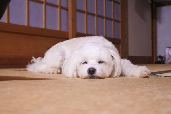 畳でくつろぐ犬
