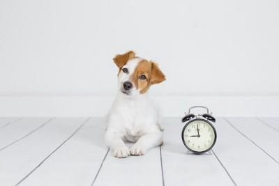 時計の横に伏せて首を傾げる子犬