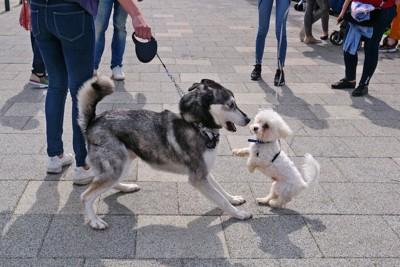 散歩中に近づいてきた小型犬に驚く犬