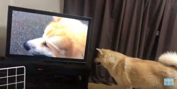 テレビに近づくらんぷちゃん