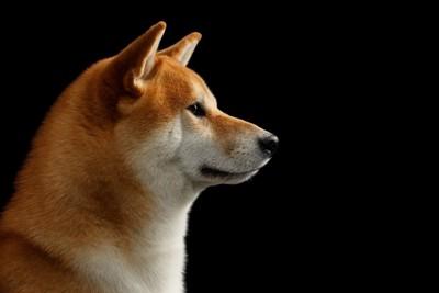 真顔の柴犬