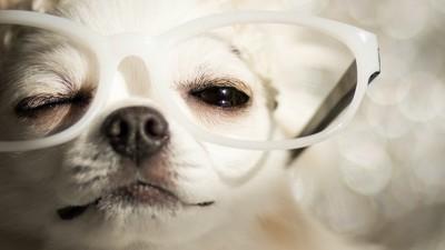眼鏡をかけてウインクするチワワ