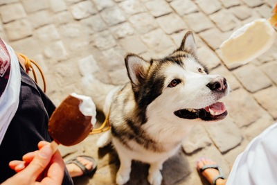 チョコアイスを見つめるハスキー犬