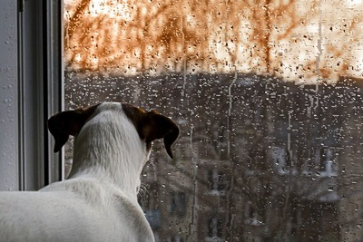 窓の外の雨を見る犬