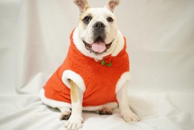 服を着る犬