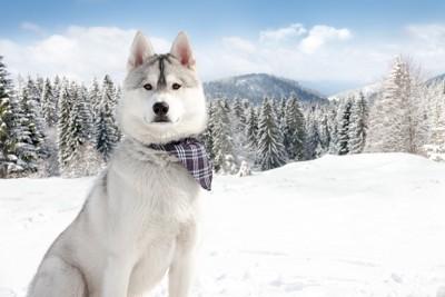 雪山にいるハスキー