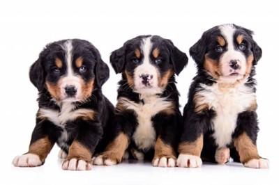3匹のバーニーズマウンテンドッグ