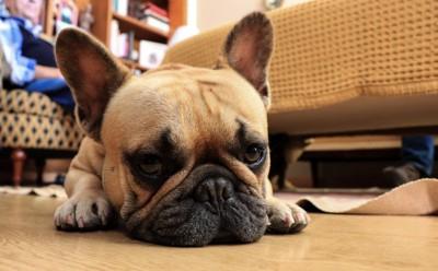 床に横たわっているフレンチブルドッグ