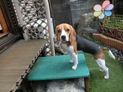 庭の踏み台に前足をかけている犬
