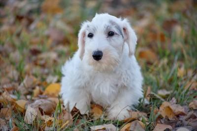 シーリハムテリア子犬
