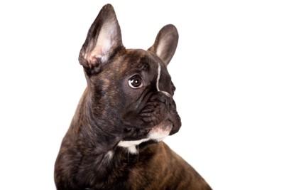 横を見つめるフレンチブルドッグの子犬
