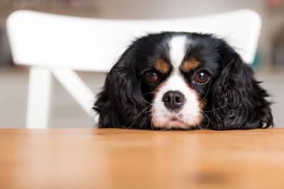 椅子に乗りテーブルに顎を乗せる犬