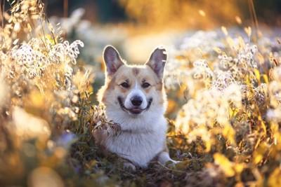 枯れ草と微笑むコーギー