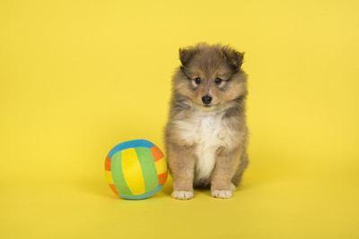 ボールの横でおすわりするシェットランドシープドッグの幼犬