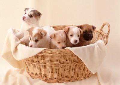 178030018 かごに入った子犬たち
