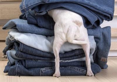 積み重なったジーンズに隠れようとする犬