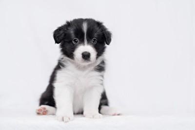 ボーダー・コリー子犬