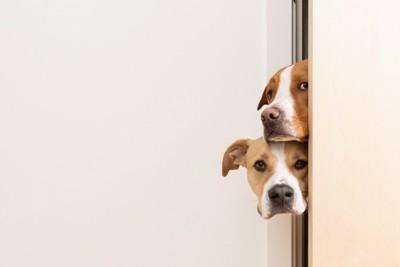 ドアの隙間からこちらを覗き込む犬
