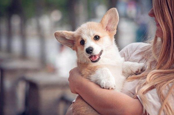 抱っこされるコーギーの子犬