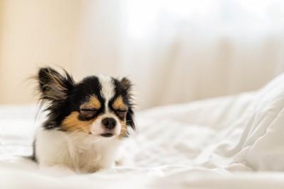 ベッドで目を閉じているチワワ