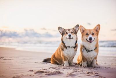 砂浜に2頭のコーギー