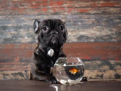 金魚とフレンチブルドッグ