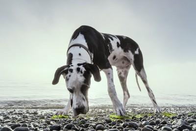 海岸で何かしている犬