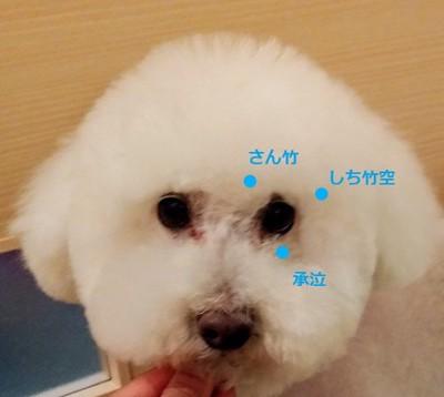 白い犬 顔アップ ツボ名称