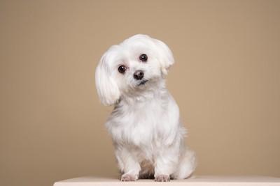 首をかしげる白い犬