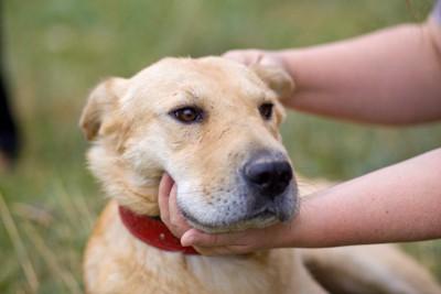 耳を後ろに倒して撫でられている犬