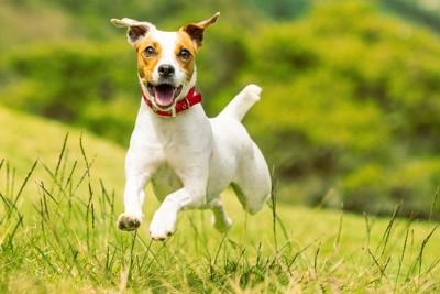 笑顔で走っている犬