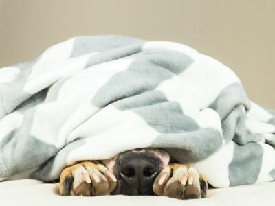 毛布から鼻だけを出している犬