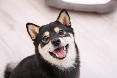 柴犬の災害救助犬