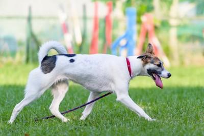 赤い首輪とリードをつけて芝生の上を歩く犬